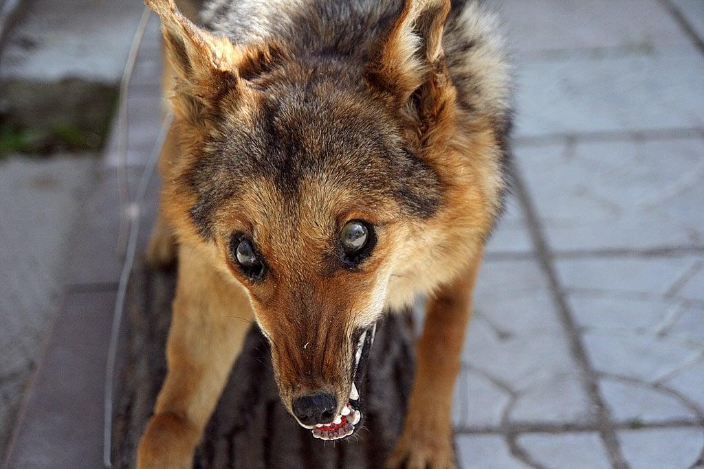 狂犬病潜伏期究竟多长