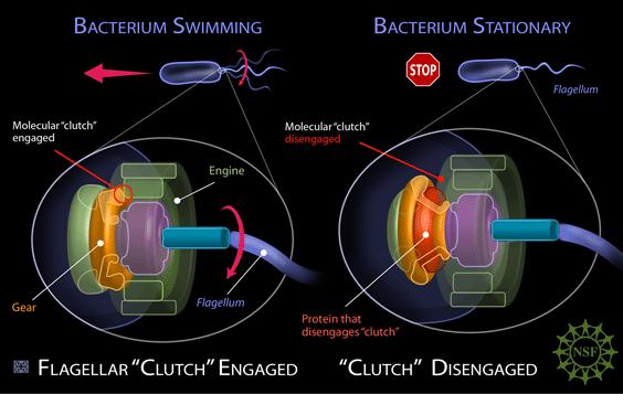 鬼斧神工的微生物结构——鞭毛